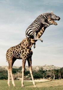 Girafă altruistă!